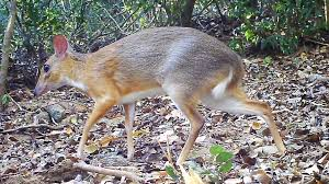 Two-toned mouse-deer species